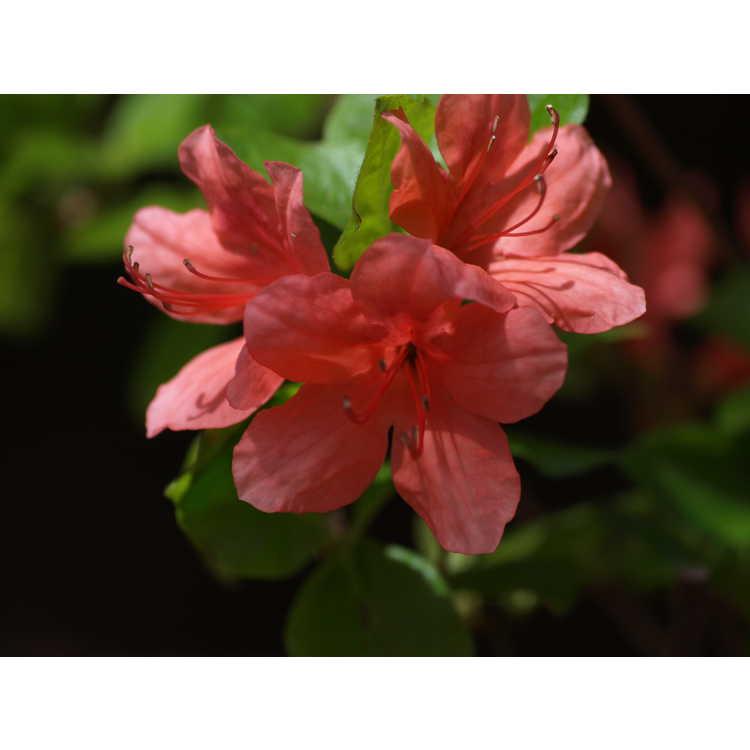 Rhododendron kaempferi 'Unryu'