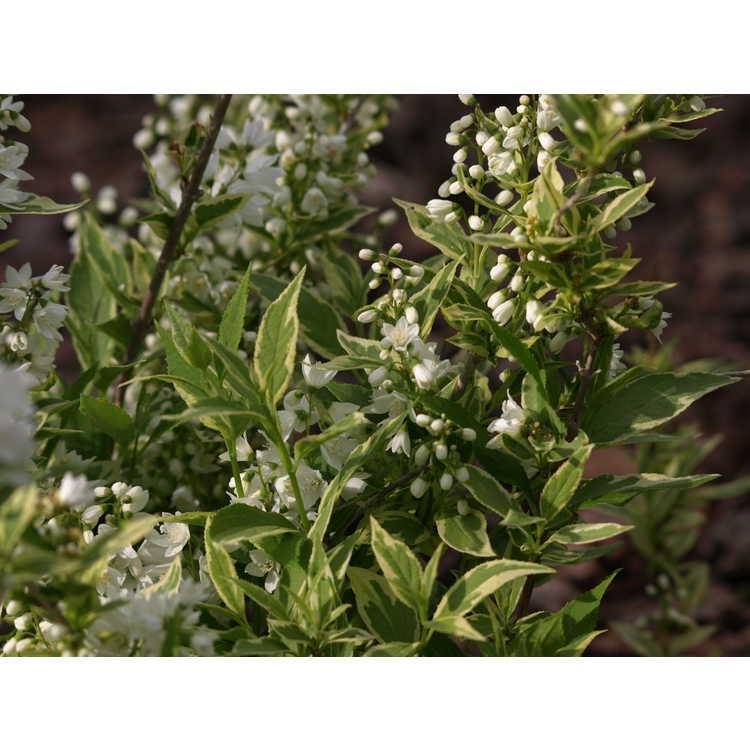 Deutzia gracilis 'Nikko Dawn' - variegated slender deutzia