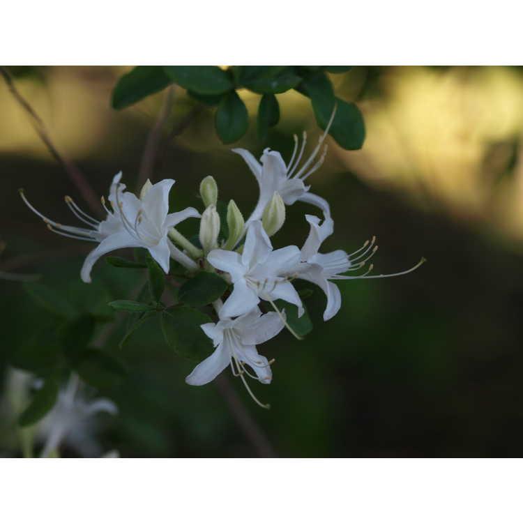Rhododendron atlanticum 'Winterthur' - coastal azalea