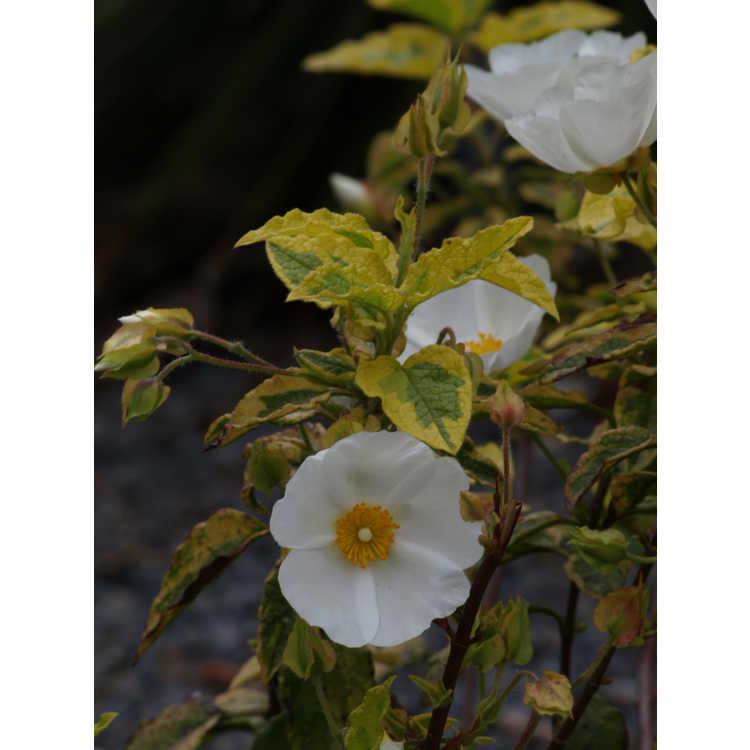 Cistus 'Mickie' - variegated rockrose