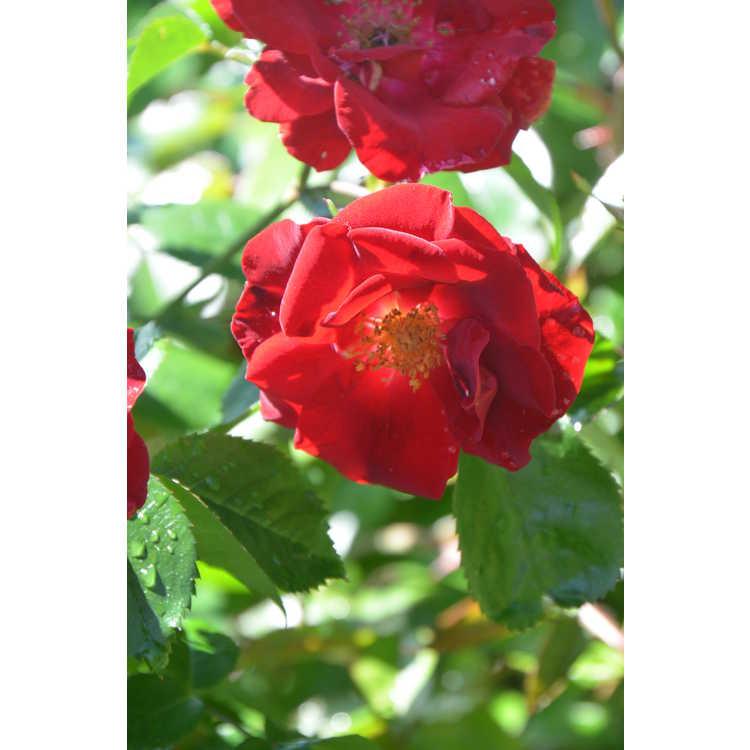 Rosa Sprothrive Thrive