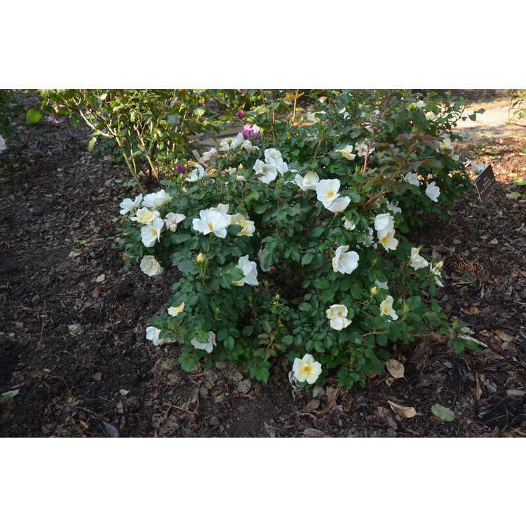 Rosa 'Radwhite' - White Out shrub rose