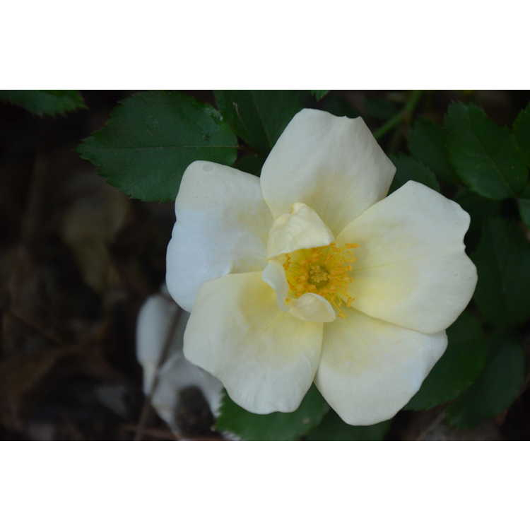 Rosa 'Radwhite'