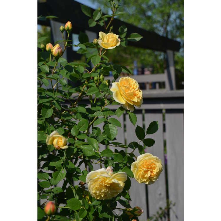 Rosa 'Ausbaker' - Teasing Georgia shrub rose