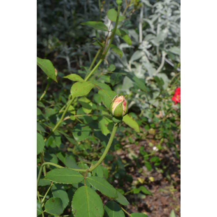 Rosa 'Ausrelate' - Lichfield Angel shrub rose