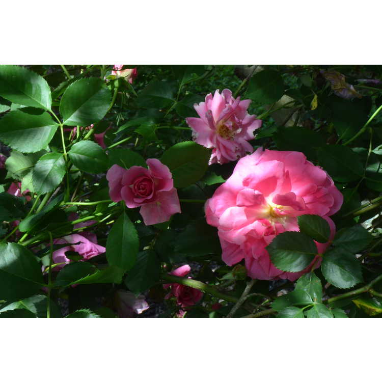 Rosa 'Carefree Beauty' - shrub rose