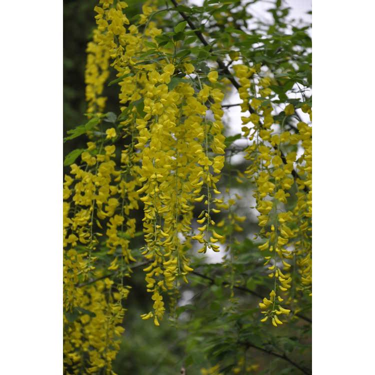 Laburnum anagyroides - golden chain tree