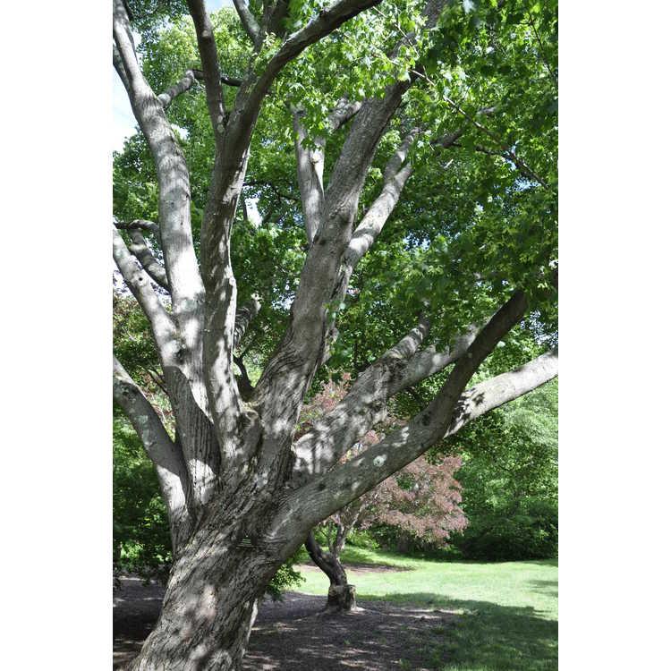 Acer pictum var. mono