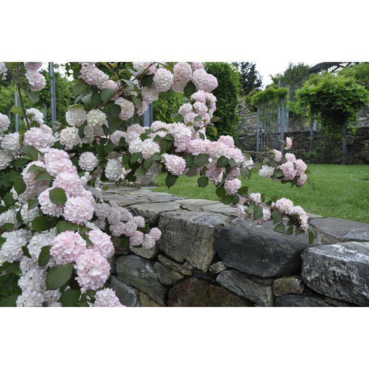 Viburnum plicatum 'Mary Milton' - pink Japanese snowball viburnum