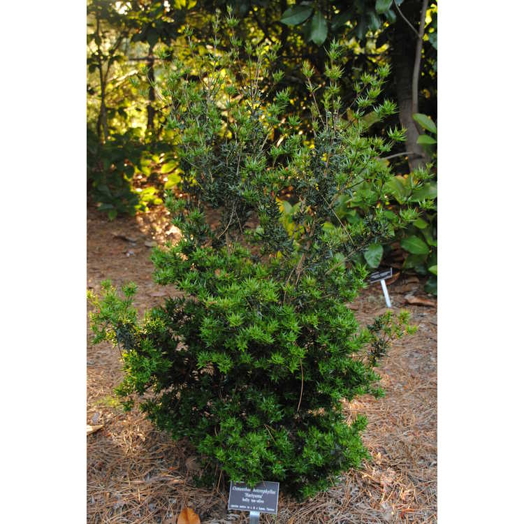 Osmanthus heterophyllus 'Hariyama'