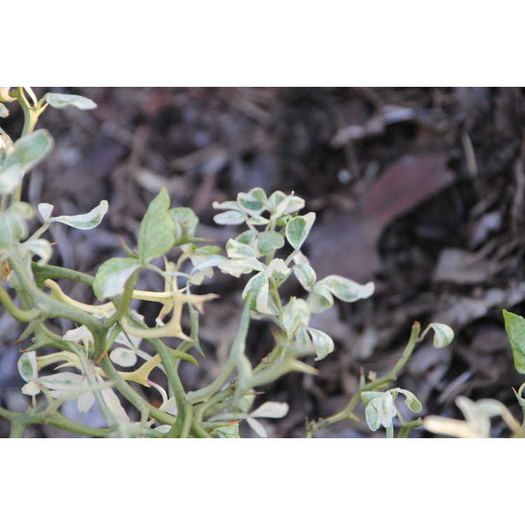 Poncirus trifoliata 'Snow Dragon'