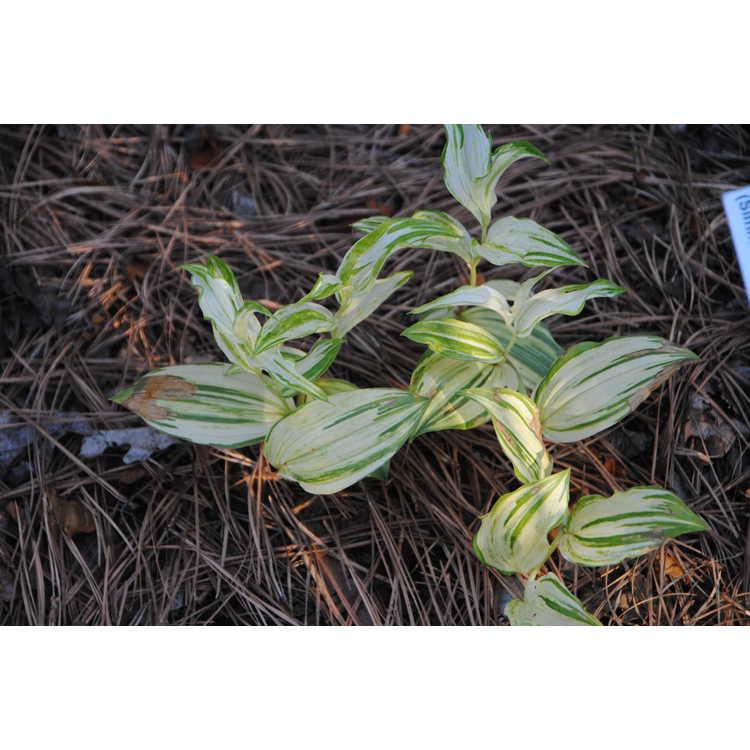Disporum flavens (Simm's variegated)