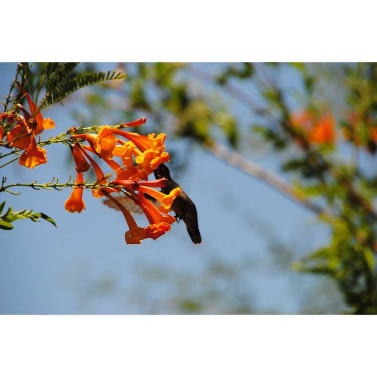 Tecomaria capensis - cape honeysuckle