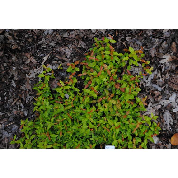 Trachelospermum asiaticum 'Kiifu Chirimen'