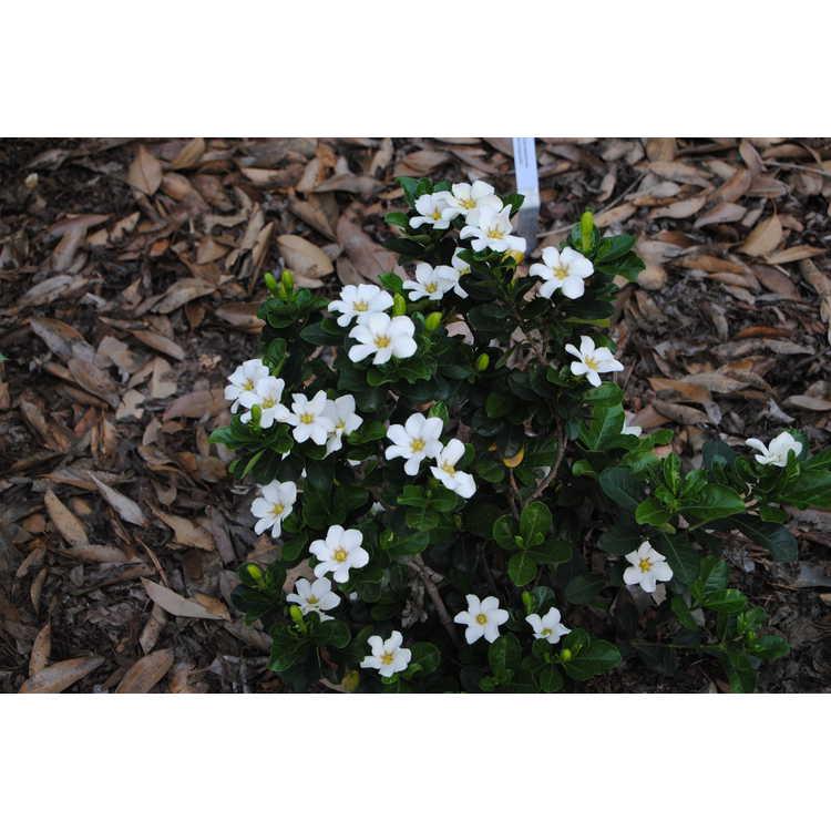 Gardenia jasminoides 'Cutie Pie'