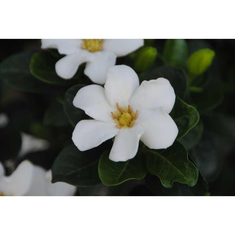 Gardenia jasminoides Cutie Pie
