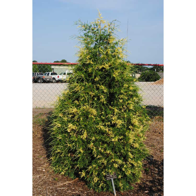 Juniperus virginiana 'Regal'