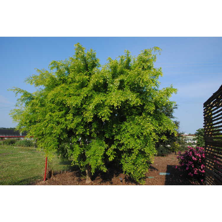 Ulmus parvifolia 'Aurea'