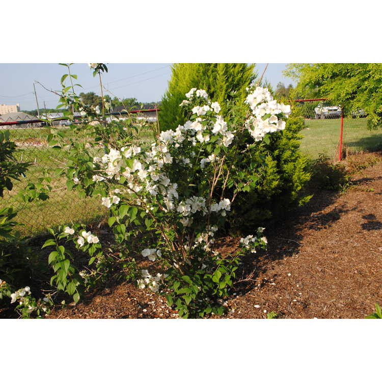 Philadelphus Snowwhite Fantasy Snow White Sensation