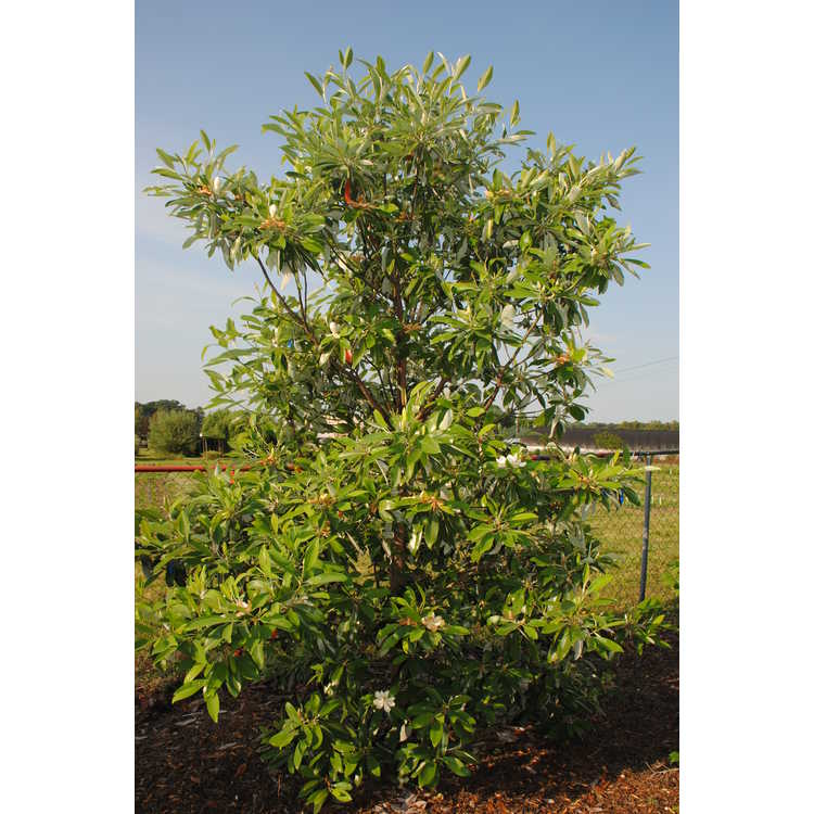 Magnolia virginiana australis Green Shadow