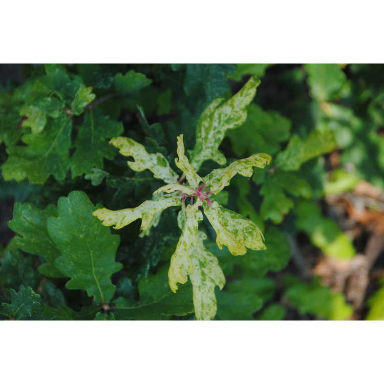 Quercus robur 'Furst Schwartzenburg'