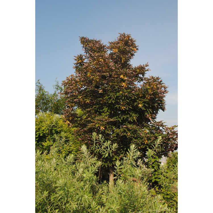 Acer griseum × A. pseudoplatanus