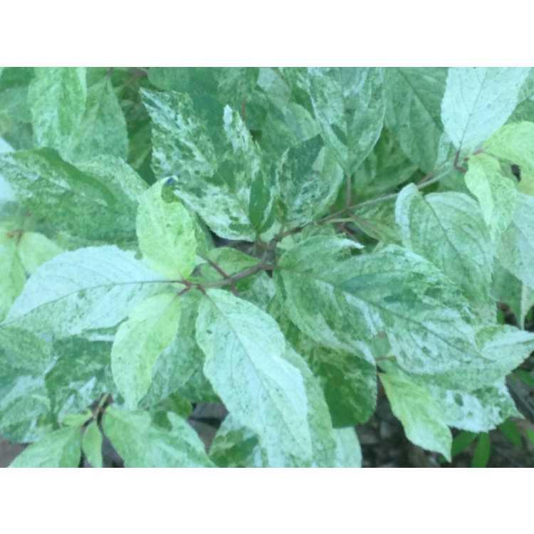Hydrangea paniculata 'Yukigeshou' - variegated panicled hydrangea