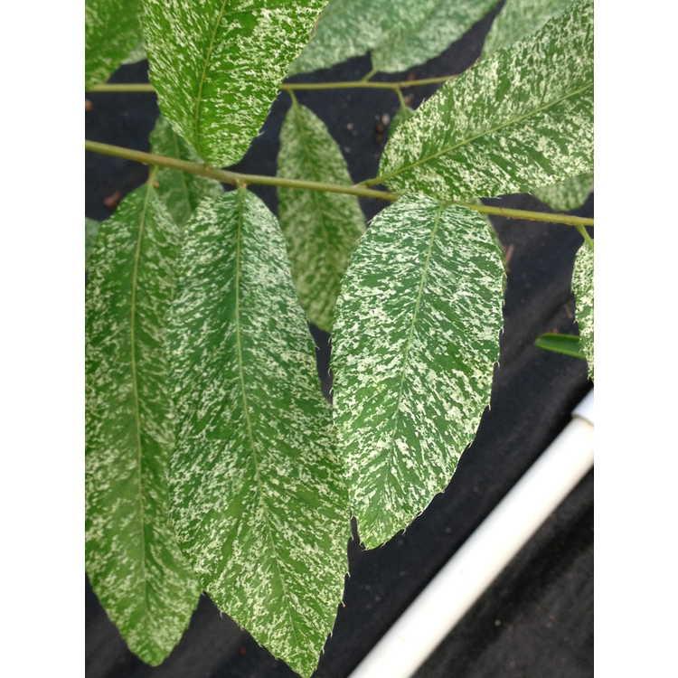 Quercus variabilis (speckled)