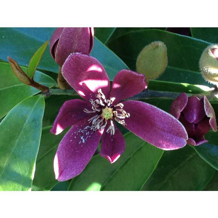 Magnolia figo crassipes Purple Queen