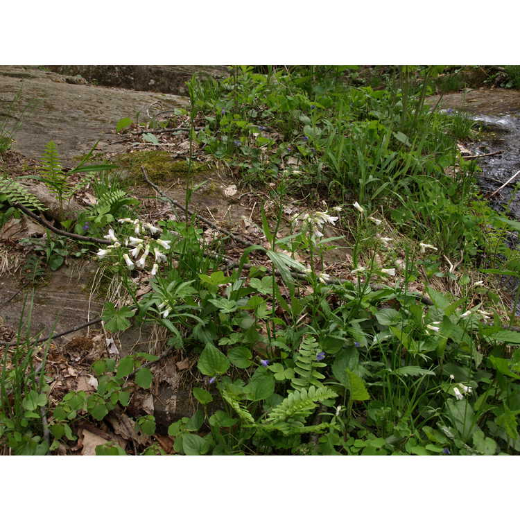 Cardamine diphylla - toothwort