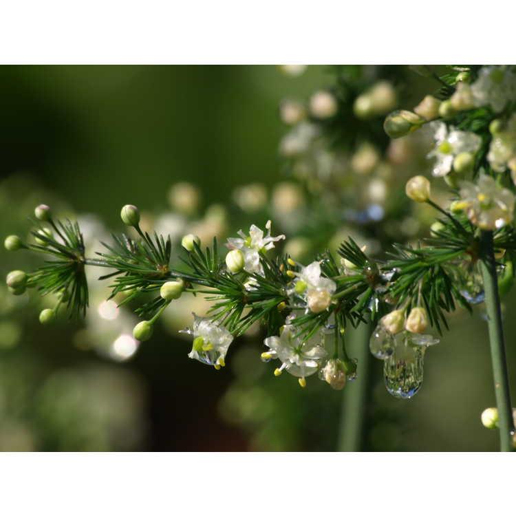 Asparagus microraphis - crimped hardy asparagus fern