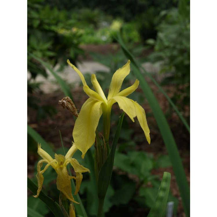 Iris tridentata - savannah iris