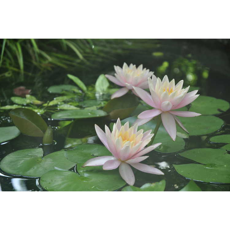 Nymphaea 'Colorado' - hybrid water-lily
