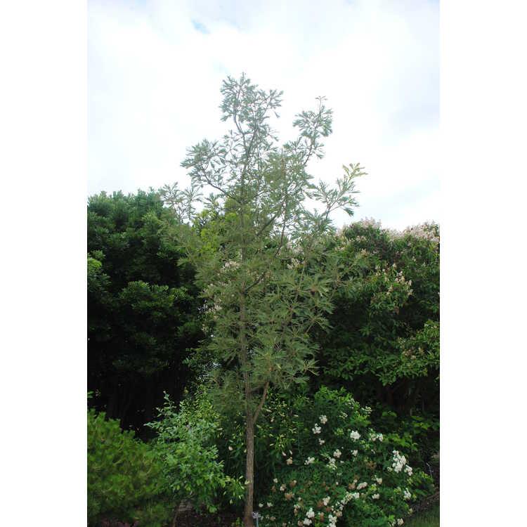 Quercus dentata 'Pinnatifida' - cutleaf Japanese emperor oak