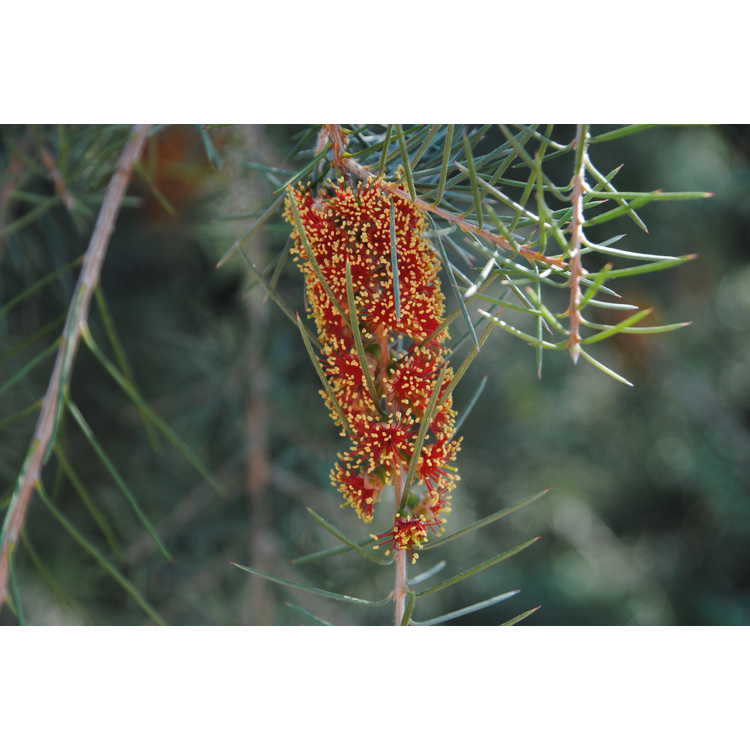 Callistemon brachyandrus - prickly bottlebrush