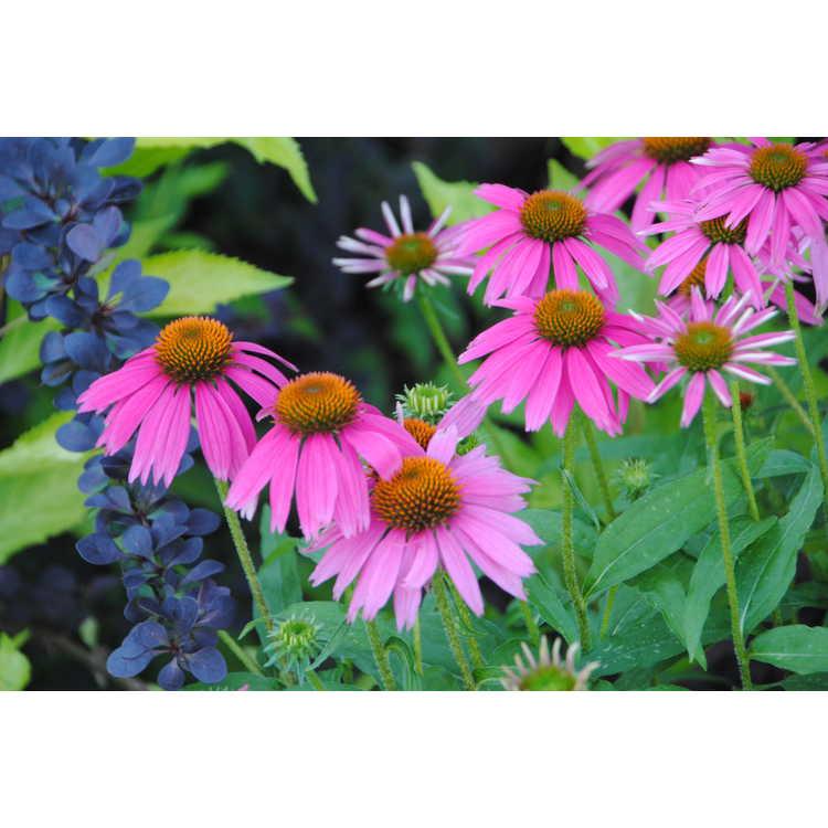 Echinacea Conevin Purple Fantasy