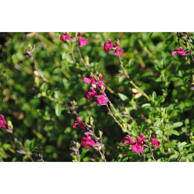 Salvia greggii 'Viva'