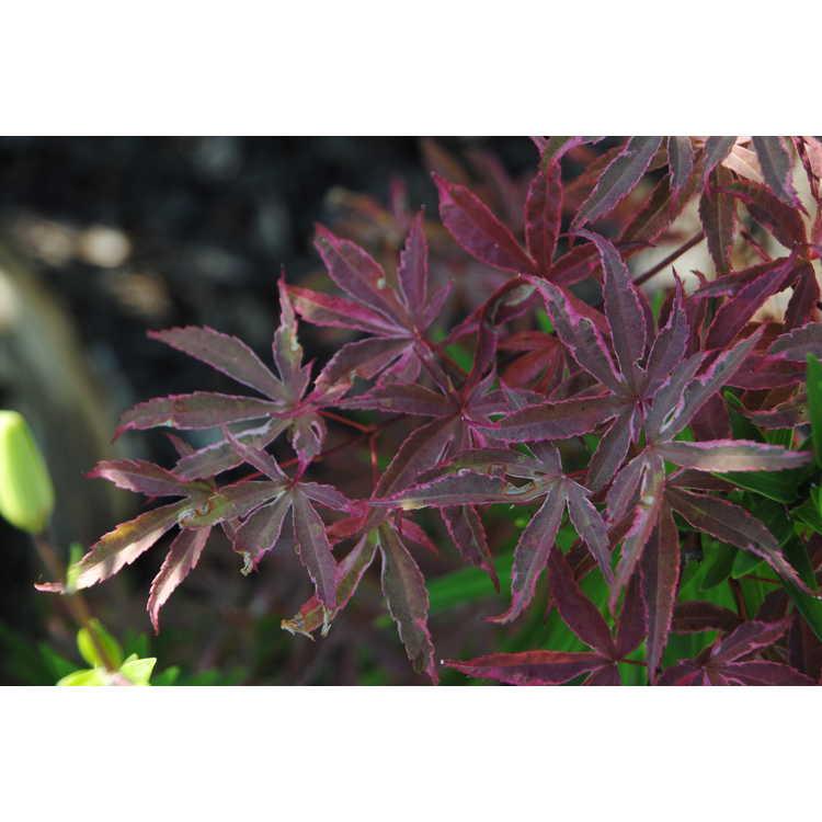 Acer palmatum 'Geisha Gone Wild'