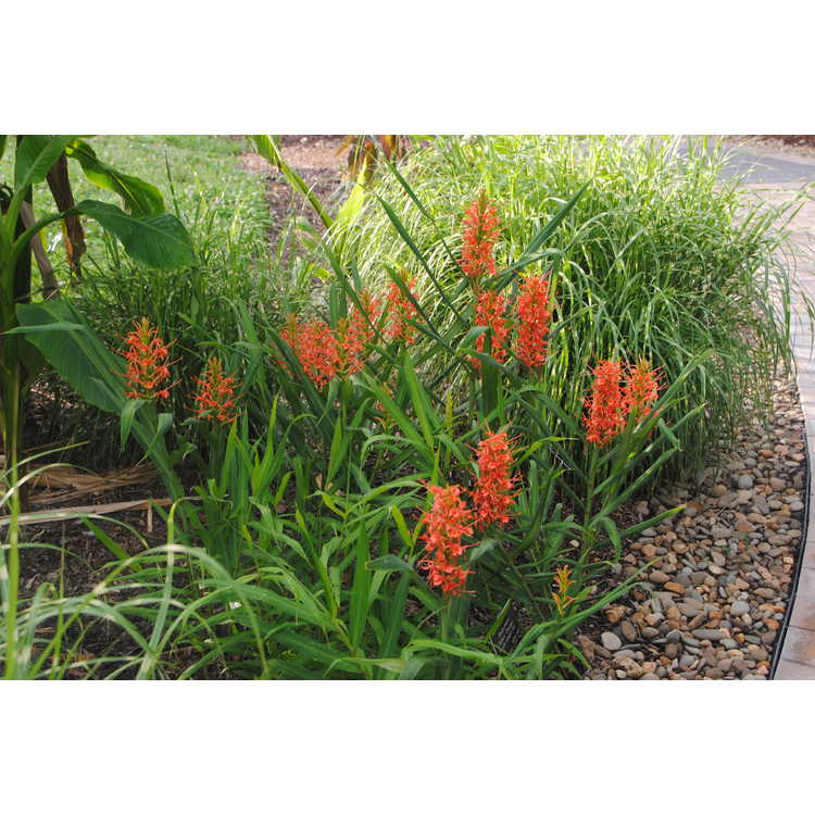 Hedychium 'Slim's Orange' - hardy ginger-lily