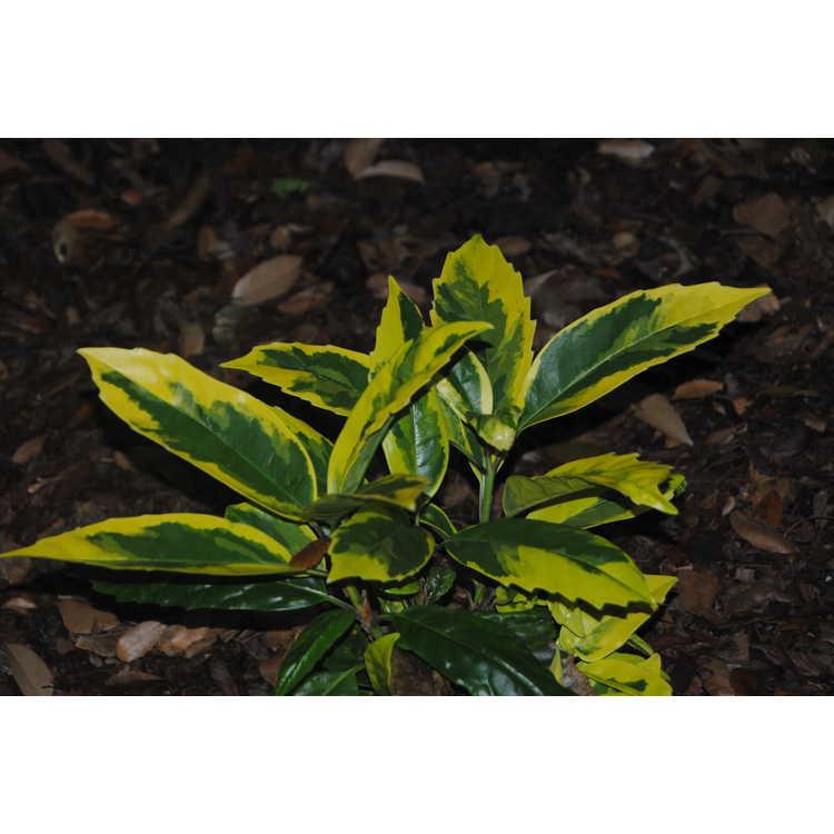 Aucuba japonica 'Hime Kikufurin'