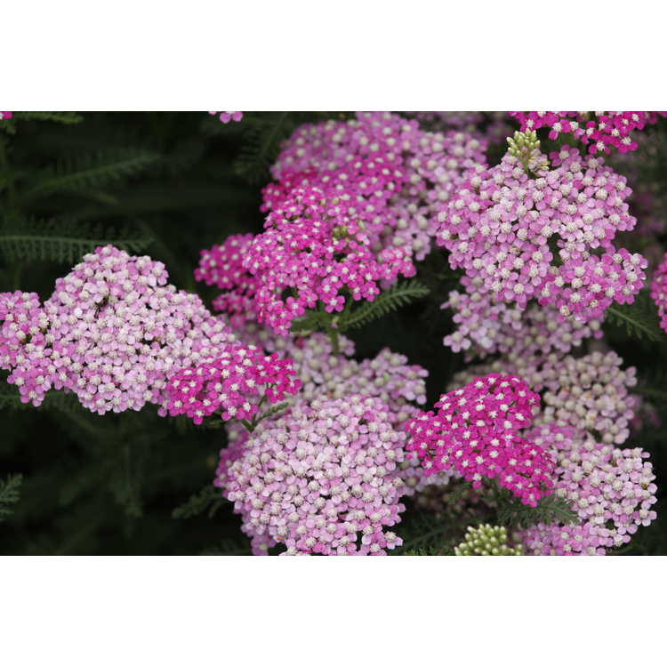 Achillea millefolium (Montrose rose form) - common yarrow