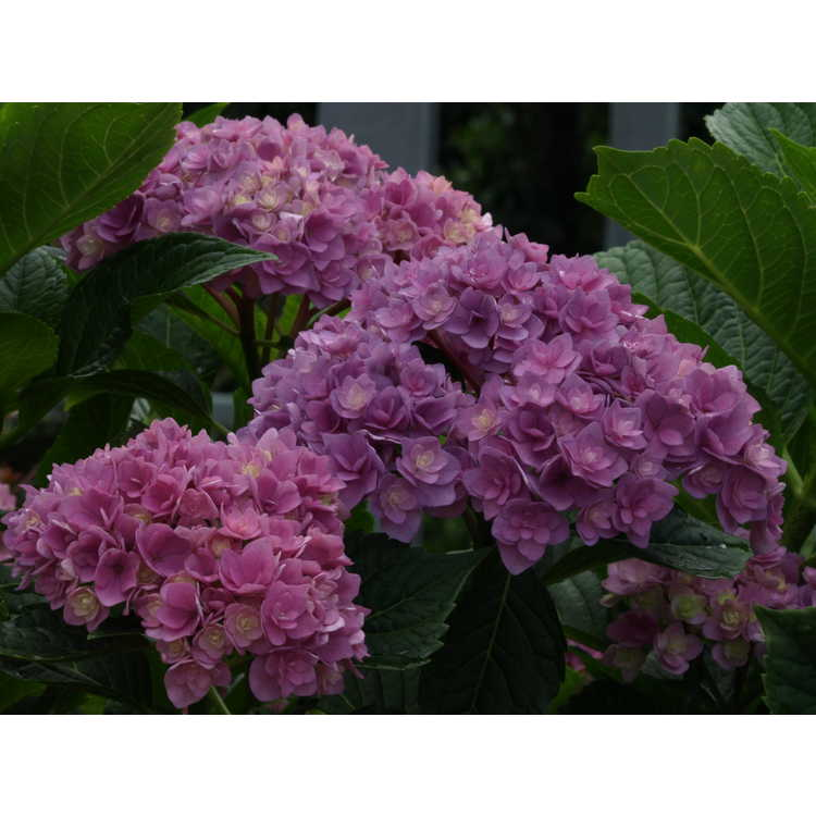 Hydrangea macrophylla Rei 05 Forever & Ever Together