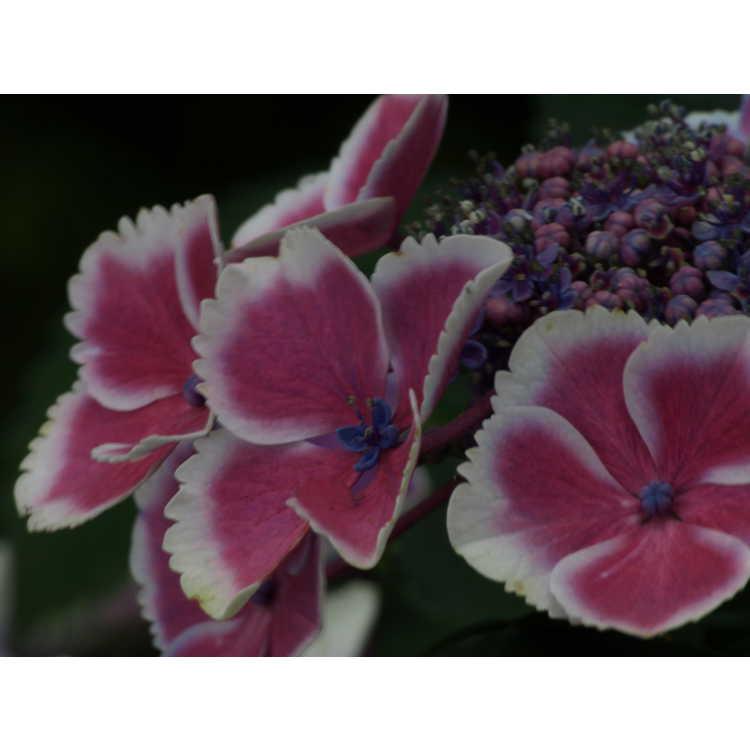 Hydrangea macrophylla 'Frau Reiko'