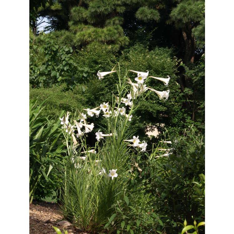 Lilium formosanum var. pricei - dwarf Formosa lily