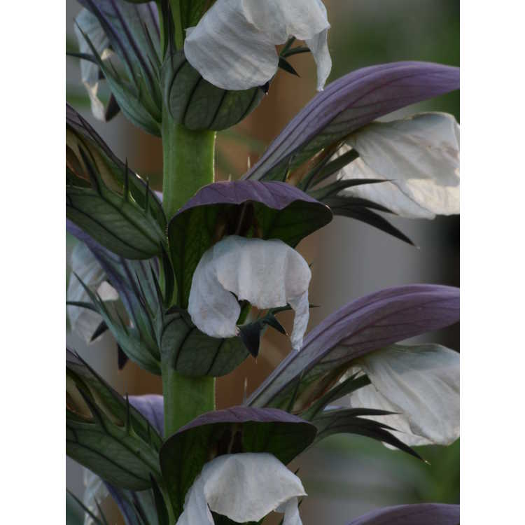 Acanthus 'Morning Candle'