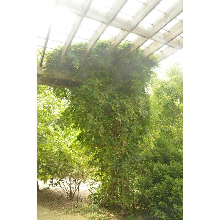 Wisteriopsis japonica Alba