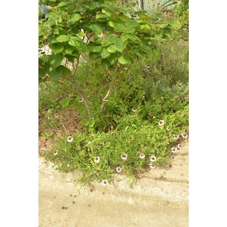 Gaillardia aestivalis winkleri