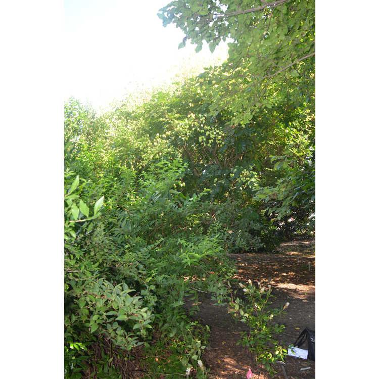 Koelreuteria paniculata 'Beachmaster' - dwarf goldenrain tree