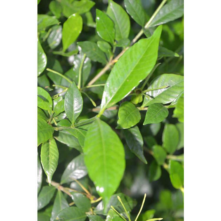 Gardenia jasminoides - Cape jessamine