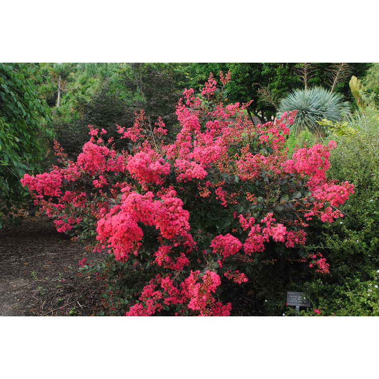 Lagerstroemia indica 'Red Filli' - miniature crepe myrtle